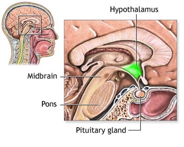 ypothalamus