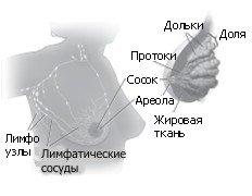 Молочные железы, строение