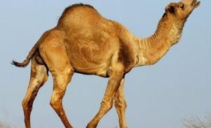 Верблюды оказались переносчиками смертельного вируса MERS